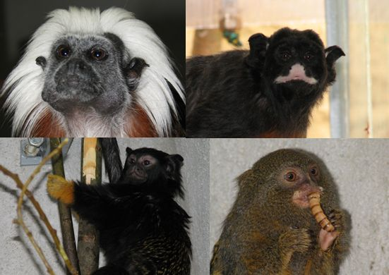 Nase opicky/ Our marmosets/�ffinnen
